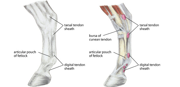 Equine Laser Therapy To Treat Flexor Tendon Inflammation And Ligamentitis