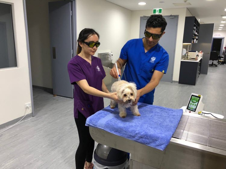 pet laser therapy with Berylas laser